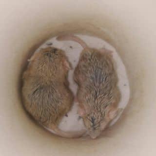 2 bé Fat Tail Đực của quocbinh38v tại Hồ Chí Minh - 2476489