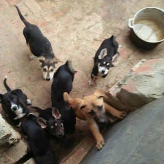 7 Em chó lai béc 3 tháng tuổi của nguyennamphuong6 tại Phú Thọ - 3037157