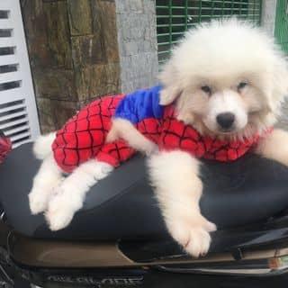 Áo spiderman cho chó mèo của conangdatinhconangdatinh36 tại Hồ Chí Minh - 2792934
