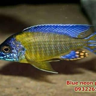 Aulonocara Blue Neon của ktrinhkien1 tại Hồ Chí Minh - 2110066