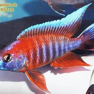Aulonocara Red Jacob của ktrinhkien1 tại Hồ Chí Minh - 2110152