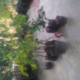Bán cây cảnh của cuongmanucians tại Shop online, Huyện Nghi Xuân, Hà Tĩnh - 755057
