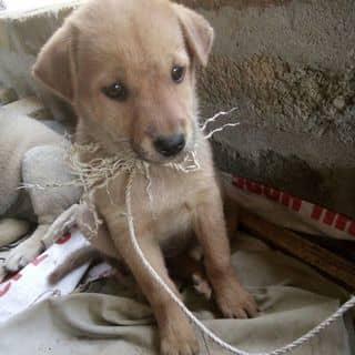 Bán chó của ngachung1 tại Quốc Lộ 70, Huyện Đoan Hùng, Phú Thọ - 2042269