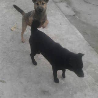 Bán chó của danhnguyen57o tại Nghệ An - 2396182