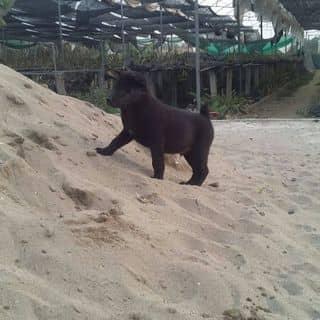 Bán chó mông cộc giá 5.000.000 của gaiunzj tại Tam Đảo, Thành Phố Vĩnh Yên, Vĩnh Phúc - 2477515