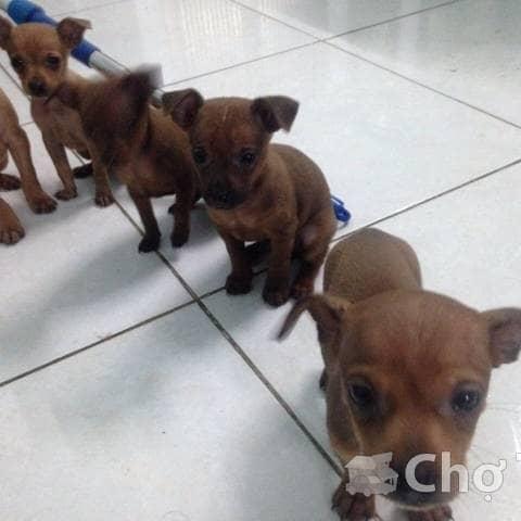 Bán chó phốc hươu, 2 tháng tuổi, màu vàng lông bò - 142294205 tuantranminh93