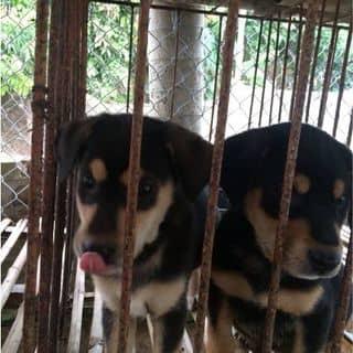 Bán chó rot lai của tranthang239 tại Hải Dương - 2771863