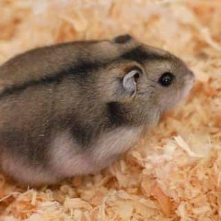 Bán chuột hamster của baongan81 tại Hồ Chí Minh - 1926488
