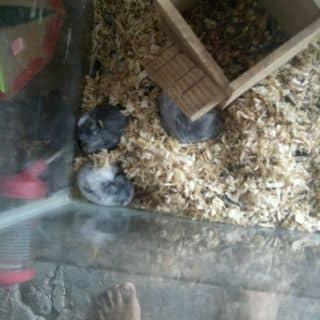 Bán chuột hamster bò sữa của doixdeoxcann tại Cà Mau - 2700736