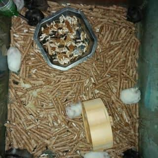 Bán chuột hamster trắng của prokutenhockvip tại Bến Tre - 1931955
