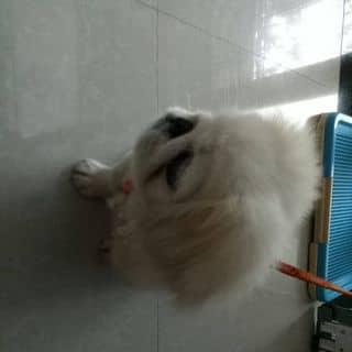 Bán cún con  của phuonghp01 tại Cần Thơ - 3456867