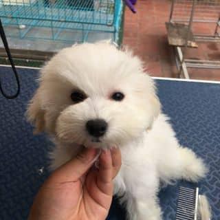 Bán cún poodle sinh sản tại nhà. của xungocnolove tại Hồ Chí Minh - 2209034