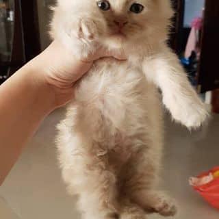 Bán em Mèo anh lông dài  giá 1.500.000 của ginanguyen3010 tại Hồ Chí Minh - 3199632