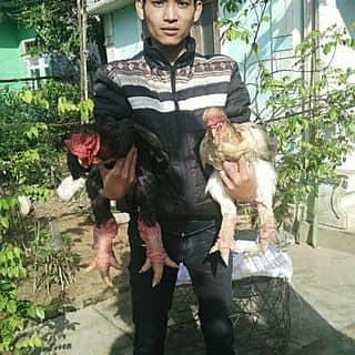 Bán gà đông tảo thuần chủng của maisetinh tại Đà Nẵng - 2555557