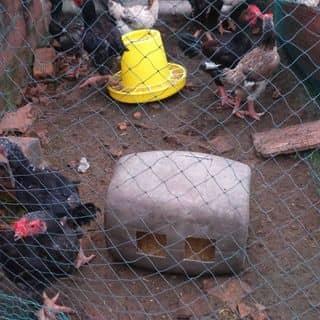 Bán gà đông tảo thuần chủng của hoangvu282 tại tt. Quán Hàu, Huyện Quảng Ninh, Quảng Bình - 2757673