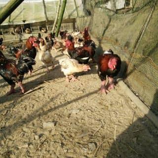 Bán gà đông tảo thuần chung si lẻ của maisetinh tại 98 Châu Thị Vĩnh Tế,  P. Mỹ An, Quận Ngũ Hành Sơn, Đà Nẵng - 2555353