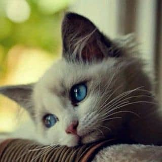 Bán mèo rất dễ thương của hhhh35 tại Quảng Nam - 2665567