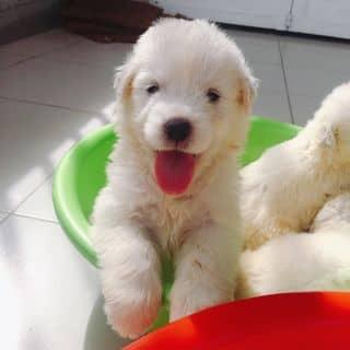 Bán ngao tuyết 2th rưỡi xuất chuồng của conangdatinhconangdatinh36 tại Hồ Chí Minh - 2324650