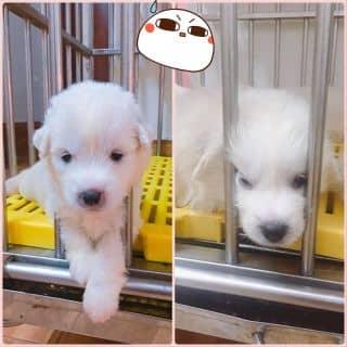 Bán Ngao tuyết chó con nhà đẻ 5/12/2016 của conangdatinhconangdatinh36 tại Hồ Chí Minh - 2482702
