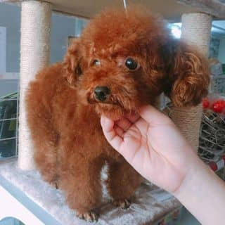 Bán poodle cái màu nâu đỏ của conangdatinhconangdatinh36 tại Hồ Chí Minh - 1970136