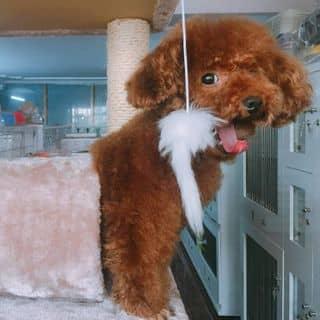 Bán poodle cái màu nâu đỏ của conangdatinhconangdatinh36 tại Hồ Chí Minh - 1970149