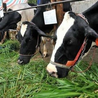 Bán sữa bò nguyên chất mới vắt ra nè bà con ơi của huynhngocthach1 tại Bình Dương - 3139266