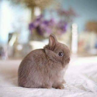Bán thỏ Netherland Dwarf thuần chủng của tuannguyenonez tại Hồ Chí Minh - 1489088