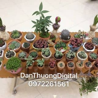 Bán xương rồng các loại... DanThuongDigital Phố Cao Phù Cừ của danthuongdigital tại Hưng Yên - 2395788