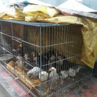 Bầy gà che chiến con của chuoixanh2 tại Tây Ninh - 1784910