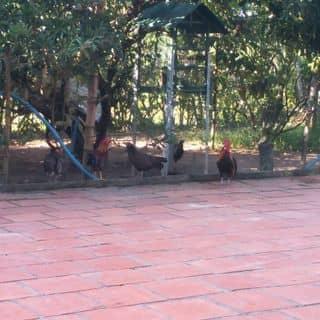 Bầy gà muốn ra đi tìm thế giới mới của chuoixanh2 tại Tây Ninh - 1784832