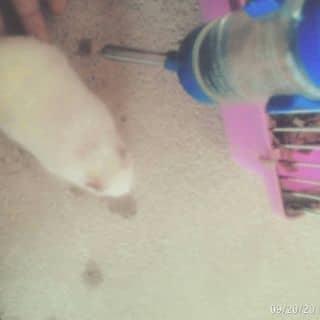 BÉ hamster bear khỏe mạnh, thuần chủng và rất dễ nuôi của ngokhanh12 tại Thái Nguyên - 932097