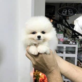 Bé POM Thái Tiny của binbon_dogshop tại Hồ Chí Minh - 3223441