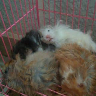 Bear lông xù của iguna tại Hồ Chí Minh - 2464661