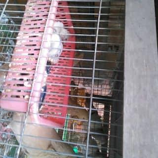Bồ câu Gà Pháp của nouvodat tại Hồ Chí Minh - 957424