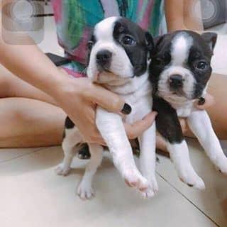 Boston terrier đực 6 tháng cuteee của conangdatinhconangdatinh36 tại Hồ Chí Minh - 2037136