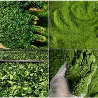 Bột trà xanh của utnguyen1357 tại Sóc Trăng - 1889573
