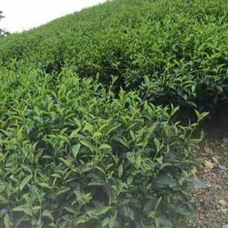 bôt trà xanh của sirosusu tại Hải Phòng - 2847984