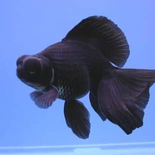 Cá 4 đuôi đầu lân đen của myyphuongg2 tại Bình Định - 2146036