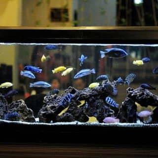 Cá Ali Giả Biển Siêu Đẹp của ktrinhkien1 tại Hồ Chí Minh - 2109629
