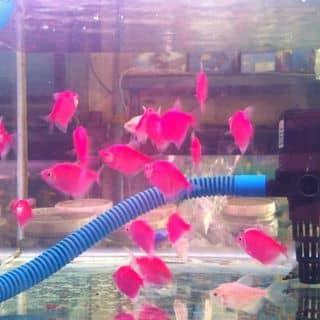 Cá cánh bườm  của bb0202 tại Hồ Chí Minh - 730443