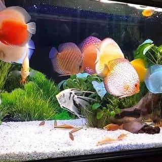 Cá Dĩa của fishshop tại Bình Thuận - 1126969