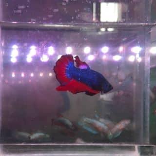 Cá dumbo,fancy của chegam tại Hồ Chí Minh - 3400610