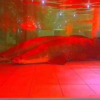 Cá hải tượng của kienkenny tại Bến xe Cà Mau, Thành Phố Cà Mau, Cà Mau - 1558605