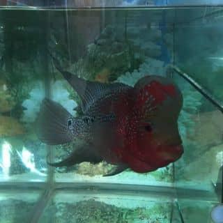cá la hán size 3 ngón rưởi nhé của phamhoanggiang1 tại Đồng Tháp - 2570651