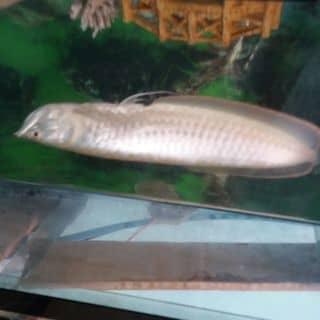 Cá rog của anhot7 tại Hà Tĩnh - 1441228