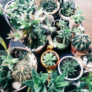 Cactus pot (Succulent - Sen Đá) - Earth của killboy1911 tại Lâm Đồng - 2080755