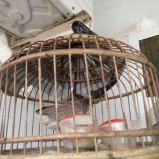 Cần bán chim cu gáy của muspha tại 210 Dương Bá Trạc, phường 2, Quận 8, Hồ Chí Minh - 1669076