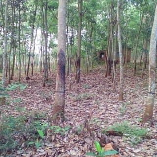 Cần bán đất gần xã thanh bình của muspha tại Bình Phước - 2841299
