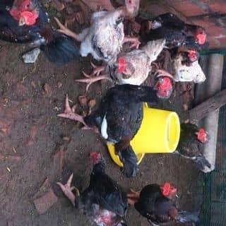 Cần bán gà Đông Tảo thuần chủng của hoangvu282 tại tt. Quán Hàu, Huyện Quảng Ninh, Quảng Bình - 2757782