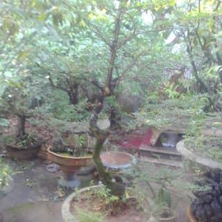 Cay canh của linhmyxuky tại Quảng Trị - 3844067